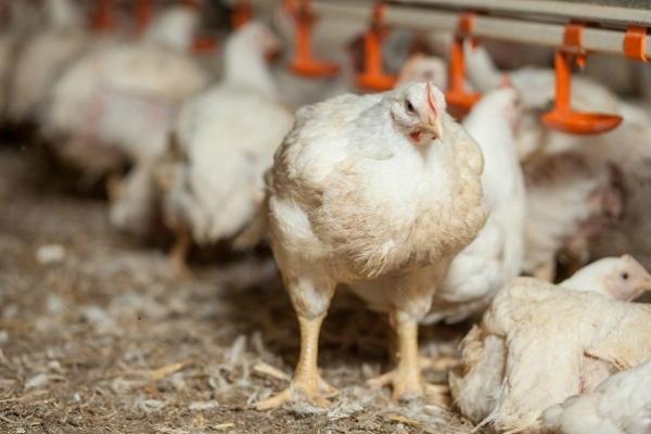 Експерти ЄС: виробництво курятини в Україні виходить на європейський рівень